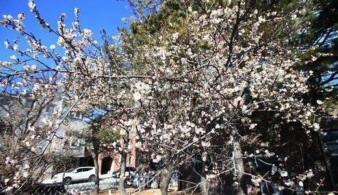 동장군의 기세가 꺽인 지난 2월 12일 오후 강원 강릉시 교1동 솔올택지의 한 공원의 벚꽃나무에서 꽃이 활짝 피어 있다./뉴시스